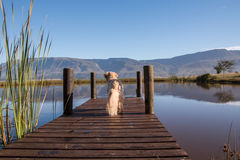 Golden retriever. From behind looking at view stock image
