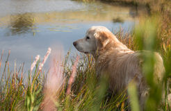 Golden retriever. From behind looking at view royalty free stock photos