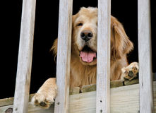 Golden retriever behind railing Royalty Free Stock Photo