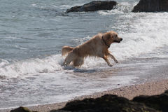 Golden retriever in Belfast Lough Royalty Free Stock Photography