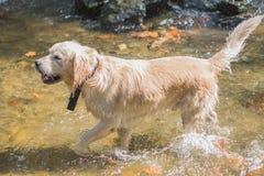 Golden retriever bianco che gioca nell'acqua, cane sveglio fotografia stock