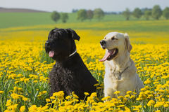 Golden Retriever and Big Black Schnauzer in dandelions meadow Royalty Free Stock Photography