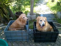 Two golden retriever taking a bath stock images