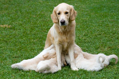 Golden Retriever bitch and nursing pups Stock Images