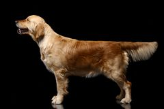 Golden retriever on black. Golden retriever poising in studio. Isolated on black stock photos