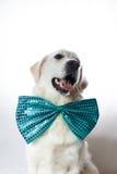 Golden retriever blanco con la corbata de lazo del trullo Foto de archivo libre de regalías