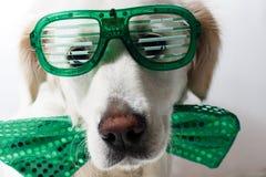 Golden retriever blanco con los vidrios verdes del partido del ` s de St Patrick Foto de archivo libre de regalías