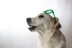 Golden retriever blanco con los vidrios verdes del ` s de St Patrick Fotografía de archivo