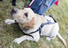 Golden retriever-Blindenhund Stockfotos