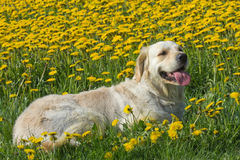 Golden Retriever on a blooming dandelion meadow. Stock Photo
