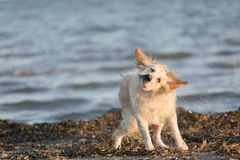 Golden retriever bobbing in the water after bathing. Take in Santa Pola, province of Alicante in Spain Stock Photos