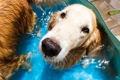 Golden retriever bonito do cão que senta-se para baixo na piscina Fotos de Stock Royalty Free