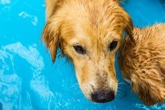 Golden retriever bonito do cão que senta-se para baixo na piscina Imagem de Stock