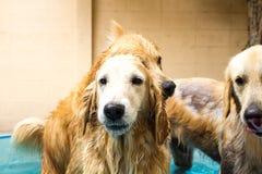 Golden retriever bonito do cão que senta-se para baixo na piscina Imagem de Stock Royalty Free