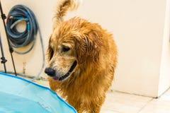 Golden retriever bonito do cão que senta-se para baixo na piscina Imagens de Stock Royalty Free