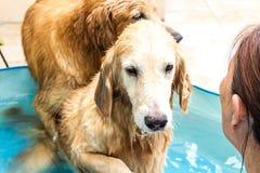 Golden retriever bonito do cão que senta-se para baixo na piscina Fotografia de Stock Royalty Free