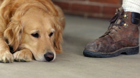 Golden Retriever and Boot. Golden Retriever resting with boot royalty free stock images