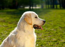 Golden retriever. Boy on a summer walk royalty free stock photography