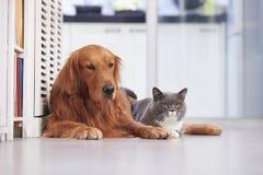 Golden retriever and British short hair cat Stock Photos