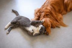 Golden retriever and British short hair cat. Indoor shooting Stock Photo