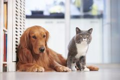 Golden retriever and British short hair cat Royalty Free Stock Images