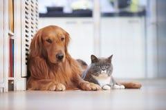 Golden retriever and British short hair cat Stock Image