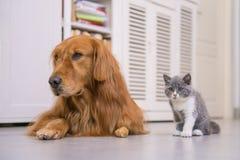 Golden Retriever and British shorthair cat. Indoor shooting Royalty Free Stock Photos