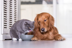 Golden Retriever and British shorthair cats are eating. Indoor shooting stock photo