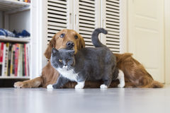 Golden Retriever and British Shorthair Royalty Free Stock Images