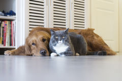 Golden Retriever and British Shorthair Stock Images