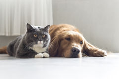 Golden Retriever and British Shorthair Royalty Free Stock Photos