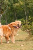 Golden Retriever brother Stock Photography
