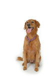 Golden Retriever Brown Stock Photo