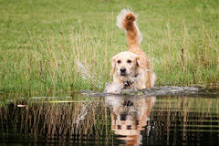 Golden retriever bryzga w jeziorze Fotografia Royalty Free