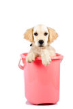 Golden retriever in bucket Royalty Free Stock Photos