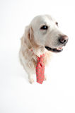 Golden retriever in a business look Stock Photo
