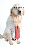 Golden retriever in a business look Stock Images