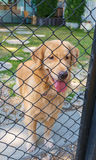 Golden Retriever in Cage. Pure cute golden retriever confine in cage Royalty Free Stock Photo