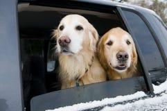 Golden Retriever Car Ride Royalty Free Stock Photo