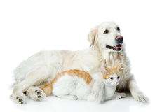 Golden retriever and cat. Royalty Free Stock Images