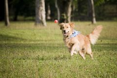Golden retriever chasing after a small ball Royalty Free Stock Photography