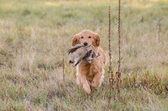 Golden retriever chassant le faisan Photo libre de droits