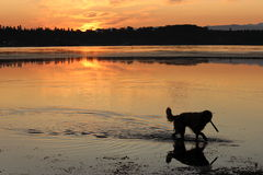 Golden retriever che guada nell'acqua Fotografia Stock Libera da Diritti