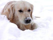 Golden retriever che mette su neve Fotografia Stock Libera da Diritti