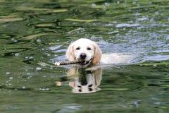 Golden retriever che nuota Immagini Stock