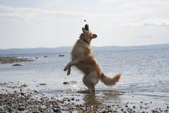 Golden retriever che salta per la roccia Immagini Stock