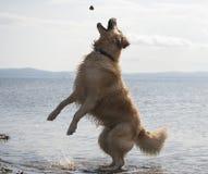 Golden retriever che salta per la roccia Fotografia Stock Libera da Diritti