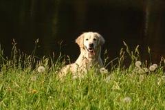 Golden retriever che sorride alla macchina fotografica Fotografia Stock