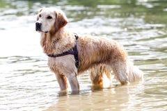 Golden retriever che sta sull'acqua Immagini Stock Libere da Diritti