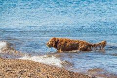 Golden retriever che va a prendere palla in acqua immagini stock libere da diritti